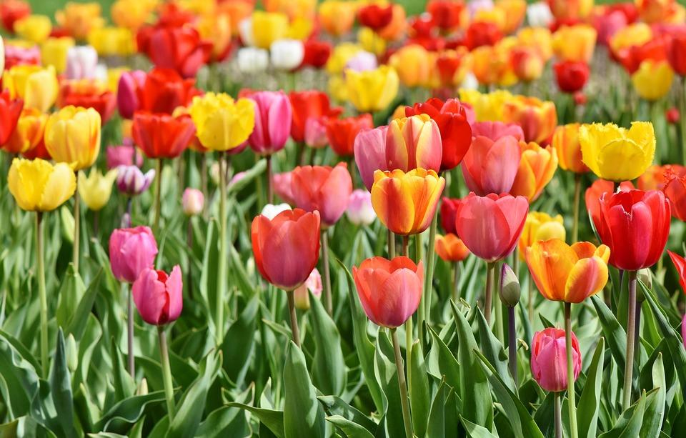 Variétés de tulipes
